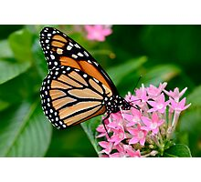 Butterfly Buffet Photographic Print