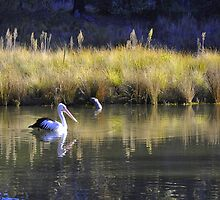 Pelican at Tidbinbilla - Canberra ecotourism experiences by chijude
