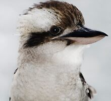 The Cheeky Kookaburra - North Stradbroke Is. Qld Australia by Beth  Wode
