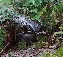 Dance of the Lyrebird. by Donovan wilson