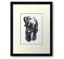 a lab chewing on a leg  Framed Print