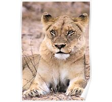 THE INTENSE LIONESS - Panthera leo - Leeu Poster