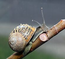 Garden Snail by larry flewers