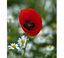 Single Poppy. Photographic Print