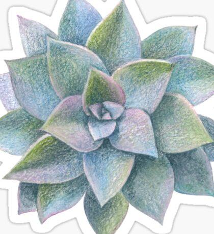 Echeveria. Succulent. Sticker