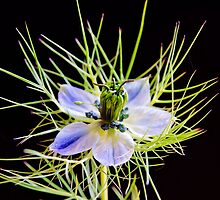 Nigella by JEZ22