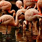 Chile, Flamingos, by Daidalos