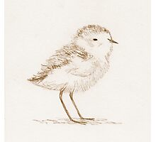 Piping Plover Chick Photographic Print