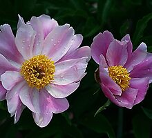 Peony Pair by Monnie Ryan