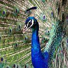 Peacock by Sandy Edgar