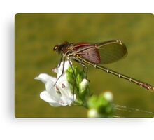 Dragonfly Rests on Water Willow Canvas Print