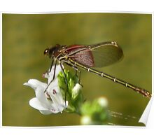 Dragonfly Rests on Water Willow Poster