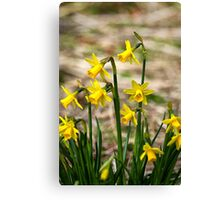 Clump of golden daffodils Canvas Print