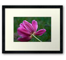 Reclining Tulip Framed Print