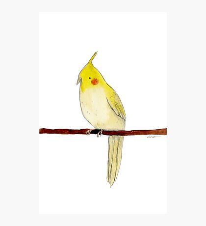 Yellow Cockatiel Photographic Print