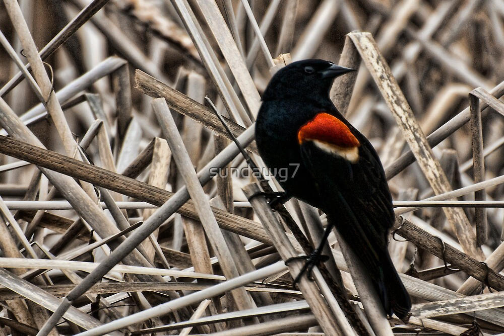Redwing Blackbird by sundawg7