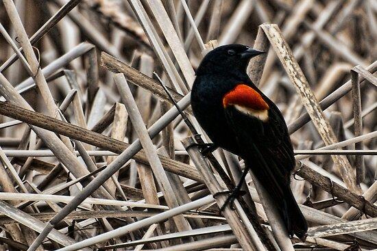 Redwing Blackbird by sundawg7