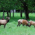 A Band of Cow Elk by Tori Snow