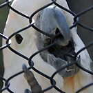 Salmon-crested cockatoo at the zoo by agenttomcat