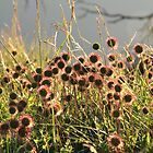 Wildflowers on Mt. Buffalo by aviator70