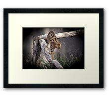 Young Serval Framed Print