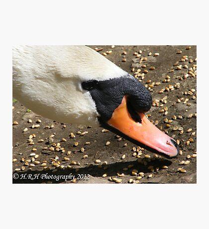 Mute Swan Eating Photographic Print