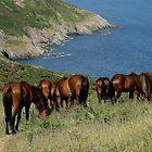 South Devon Coast Kingswear Dartmoor Ponies Grazeing On Slopes by richard wolfe