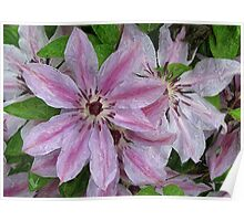 Clematis Colored Poster