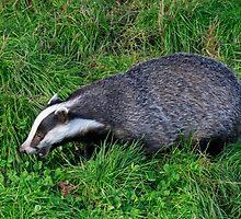 Badger by chris2766
