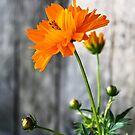 Orange Double Cosmo by Katagram