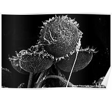 Sunflowers in Black and White Poster