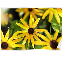 Cone Flowers of Summer Poster