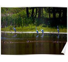 Mallards  and Egrets Poster