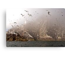 The Gannets of Bass Rock in the Mist Canvas Print