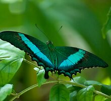 Imperial Butterfly by Agro Films