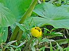 Spatterdock Wild Yellow Water Lily - Nuphar lutea by MotherNature