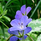 Geranium in Blue by orko