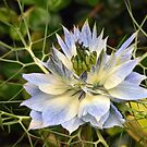 Love-in-a-Mist (Nigella damascena) by Chris Monks