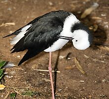 Pied Stilt Preening by Carole-Anne