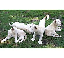 White Lion Cubs Playing Photographic Print