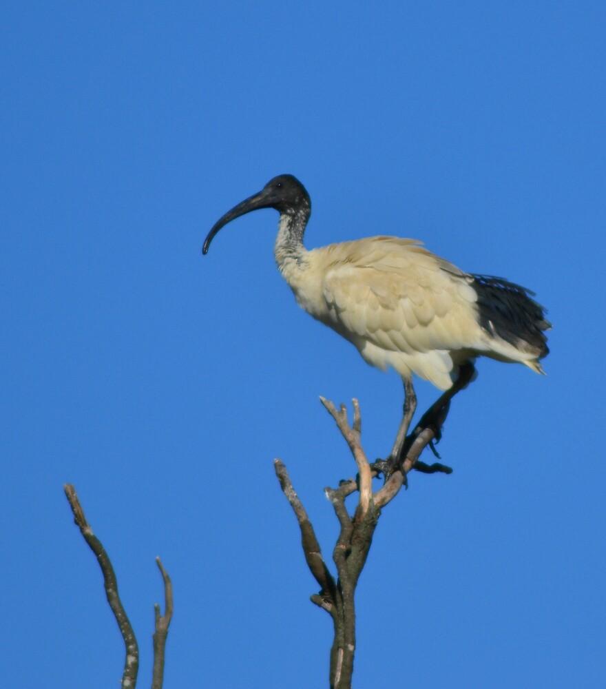 The Ibis Perch by TheaShutterbug