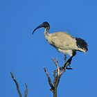 The Ibis Perch by TheaShutterbug