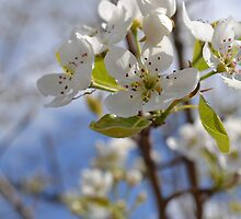 Apple Blossoms by steffanianne08