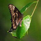 Butterfly by Sandy Edgar