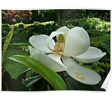 Beautiful Magnolia~ Poster