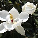 High in a Magnolia Tree ~ Blooms by SummerJade