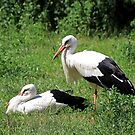 White storks by Teresa Zieba