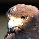 Harris Hawk by Clive