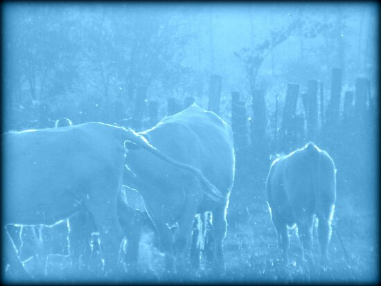 Cows in Blue by francelal