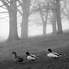 Three Ducks in the Morning Mist, Northamptonshire, England by KUJO-Photo